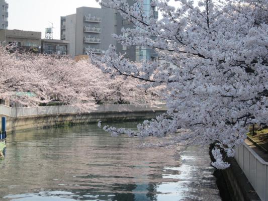 隅田川 桜