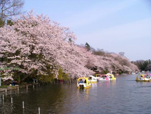 井の頭恩賜公園 桜