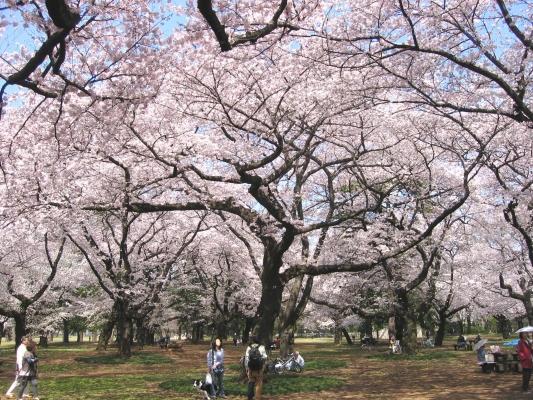 小金井公園 桜