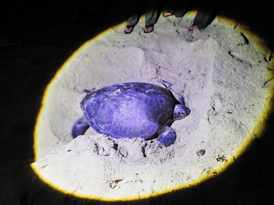セリンガン島 亀の産卵01